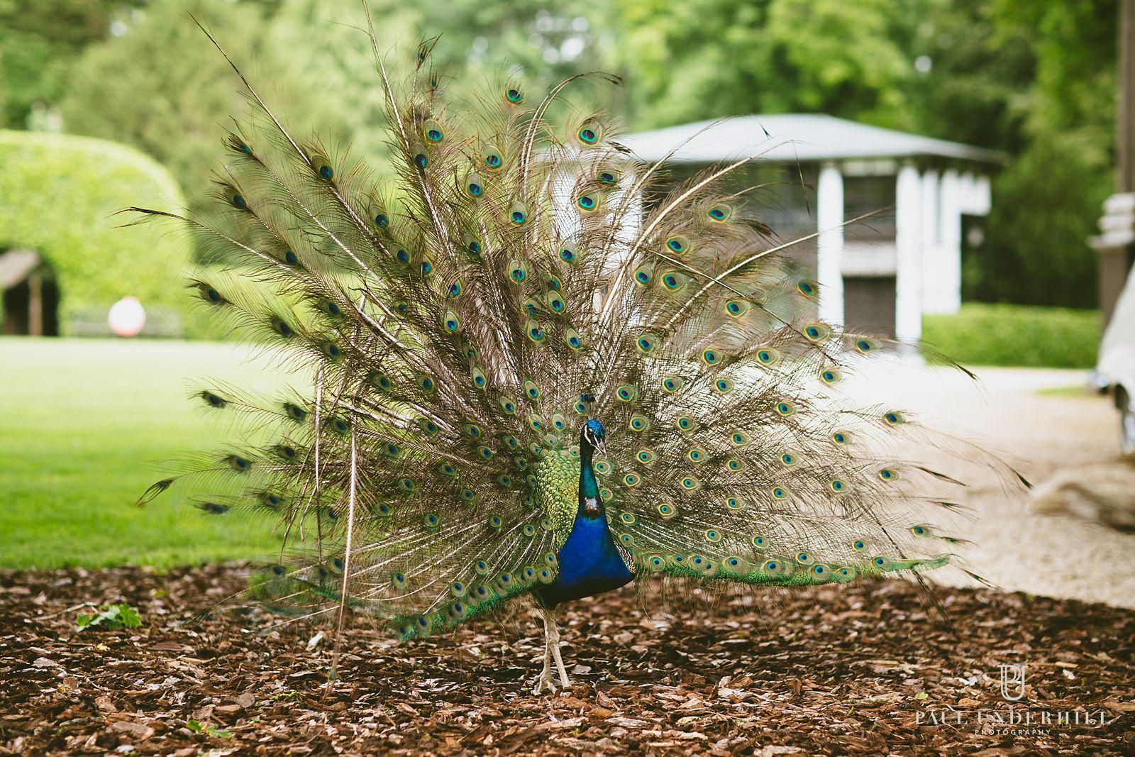 Larmer Tree Gardens Peacocks