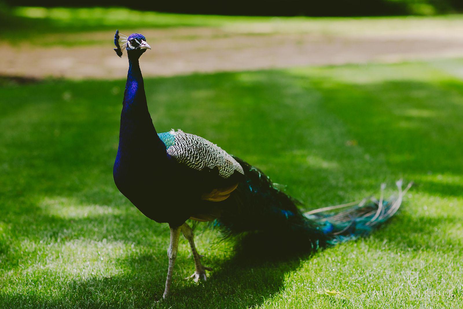 Peacock Larmer Tree gardens