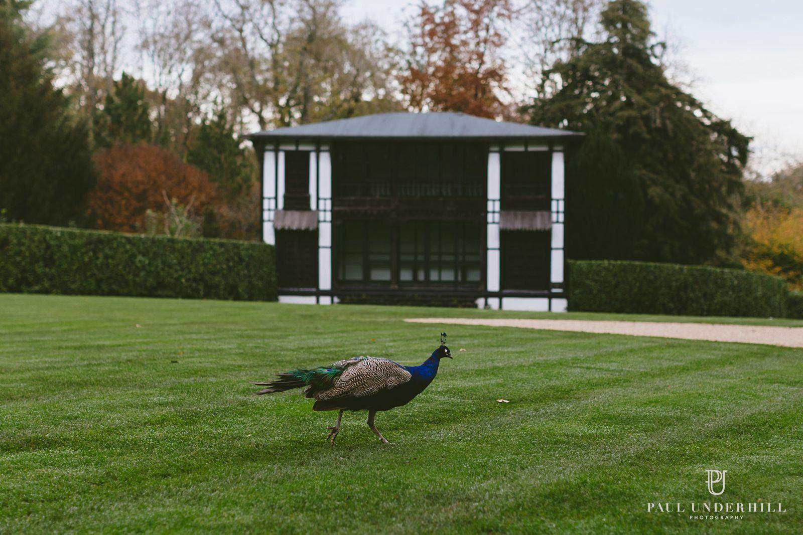 larmer-tree-gardens-peacock